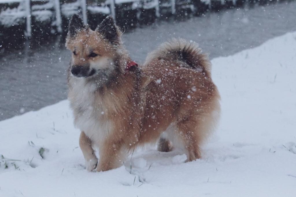 IJslandsehond Icelandic dog