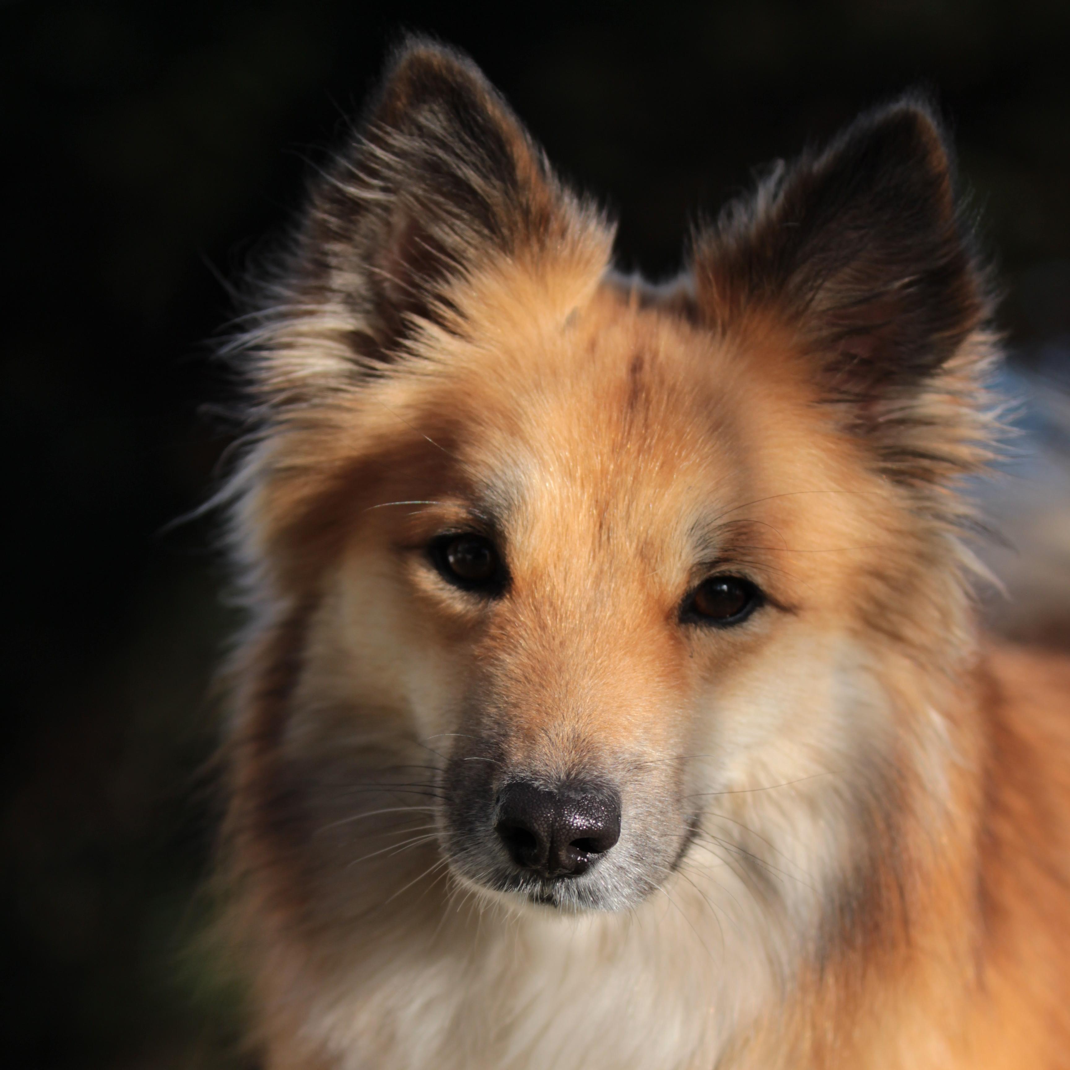 Fjara IJslandsehond Icelandic dog