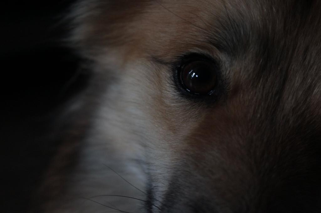 Ingezoomd op rechter oog IJslandse hond